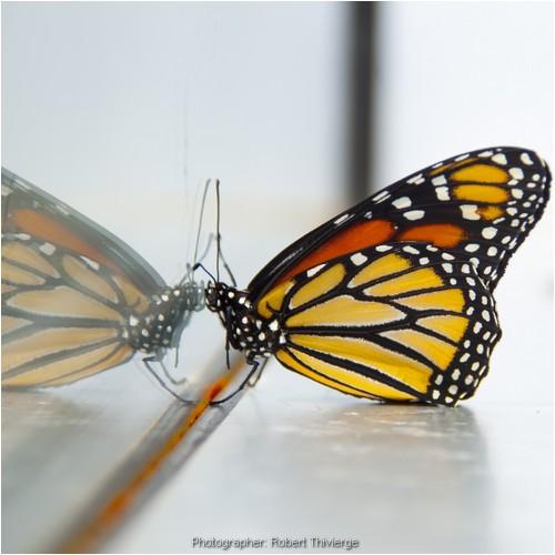 Butterfly vanity
